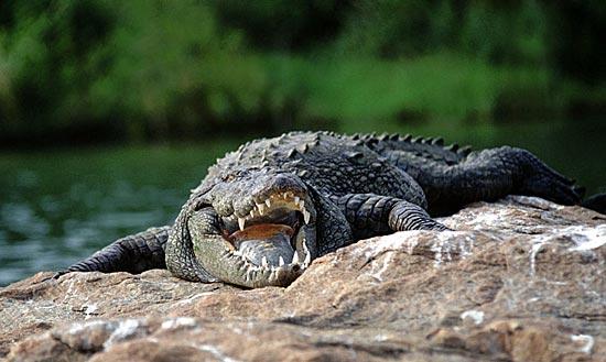 Крокодилы дышат, как птицы
