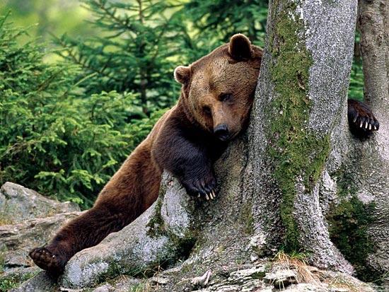 Во время зимней спячки сердце медведя на каждом выдохе останавливается на 15–20 сек