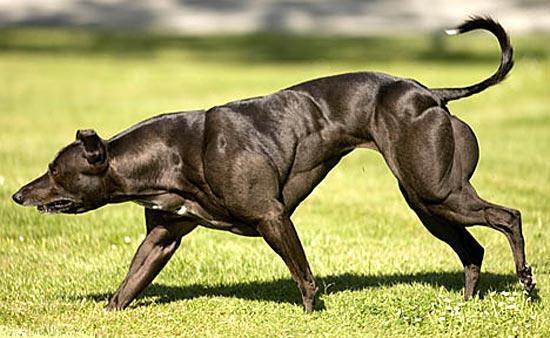 Мышцы собаки-культуриста Венди из Канады вдвое большего размера, чем положено