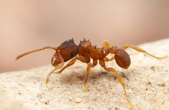 Муравьи вида Mycocepurus smithii размножаются клонированием и являются точными копиями своей королевы