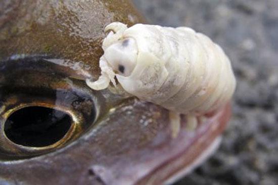 Cymothoa exigua — единственный в мире паразит, полностью заменяющий собой орган хозяина