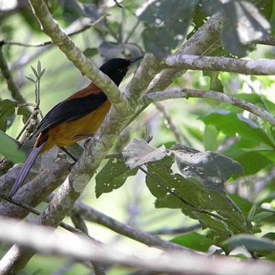 В Новой Гвинее водятся ядовитые птицы — хохлатые питохуи