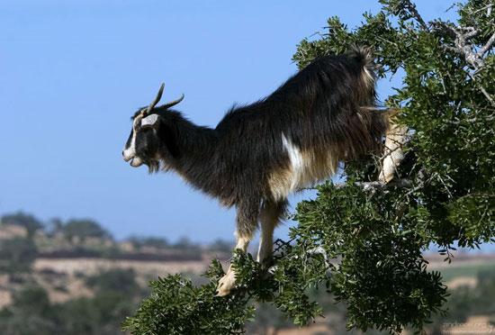 В Марокко козы пасутся на деревьях