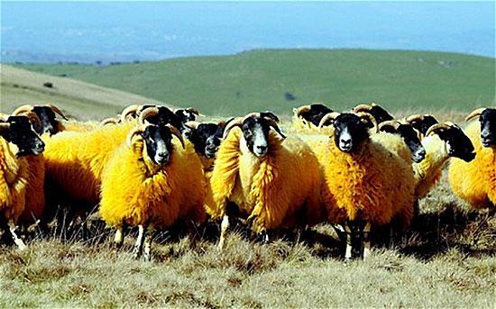 Английский фермер борется с ворами при помощи оранжевых овец