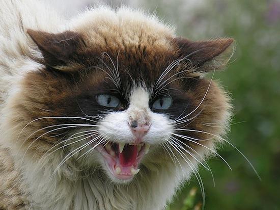 Кошки мяукают только для привлечения внимания человека