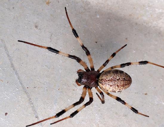 Самцы пауков Nephilengys malabarensis сами себя кастрируют