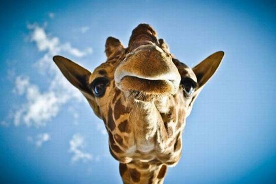 В отличие от многих млекопитающих, у жирафов нет определенного сезона для спаривания