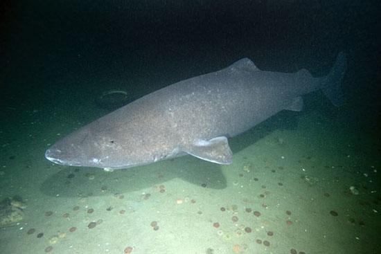 Самые медленные в мире акулы могут охотятся только на спящих животных