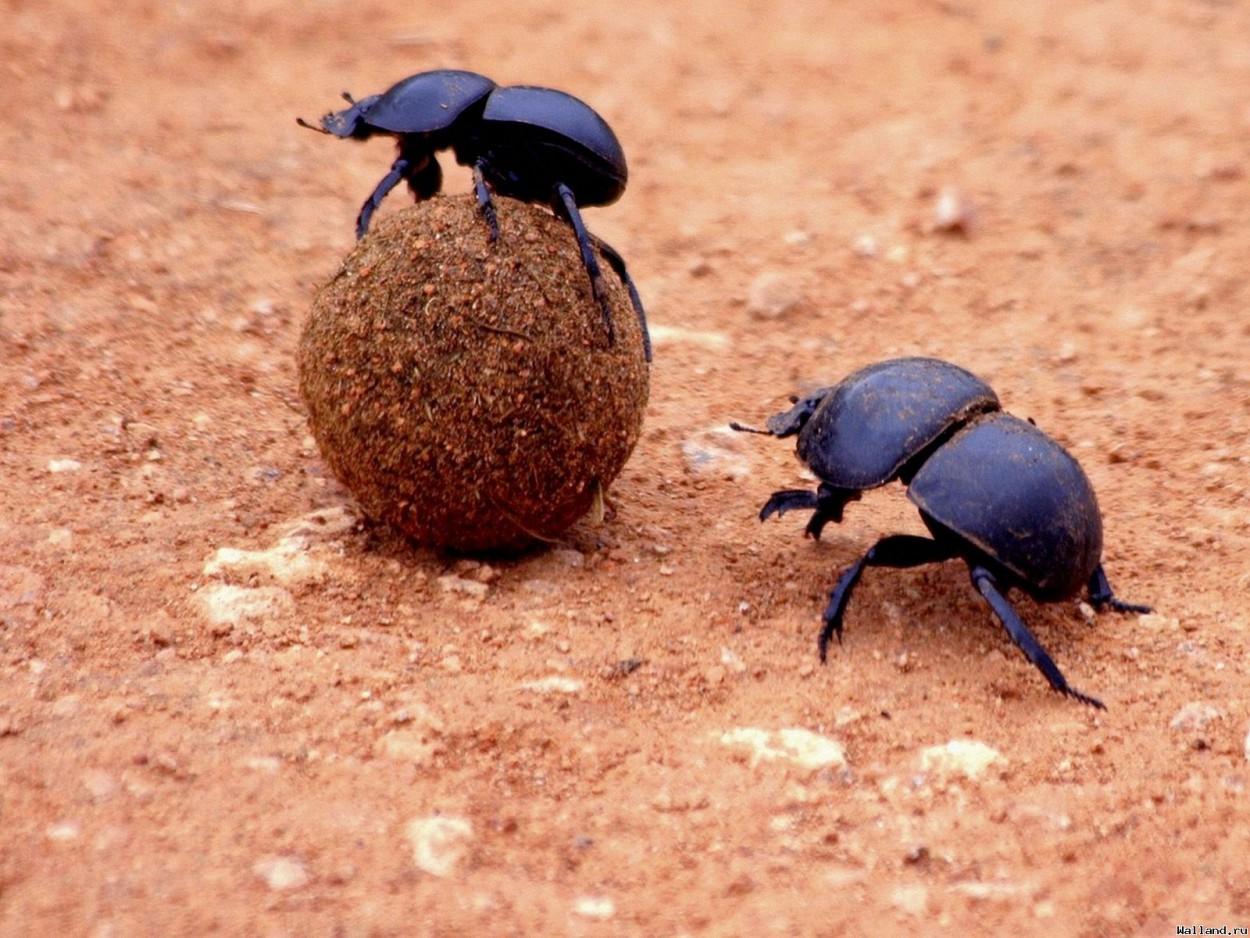 Навозные жуки ориентируются по Млечному Пути