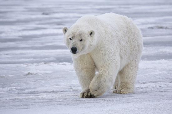 Белые медведи удивительно чистоплотны