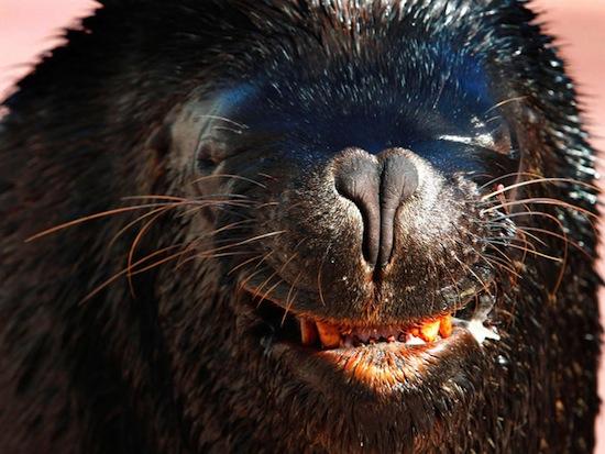Морские львы обладают чувством ритма
