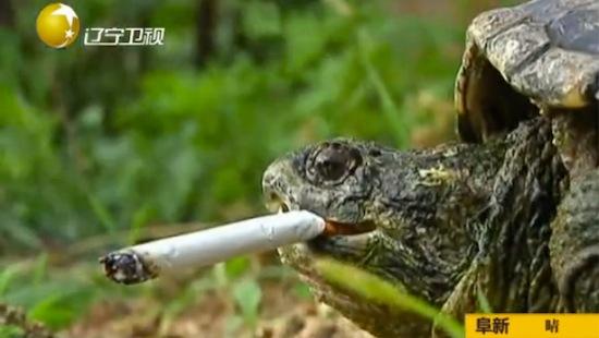 Грифовая черепаха из Китая выкуривает по десять сигарет в день