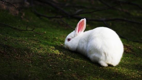 Белый хвост кролика смущает хищника при погоне