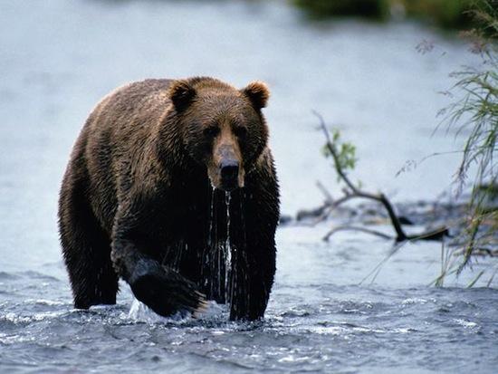 Сибиряки поклонялись бурому медведю