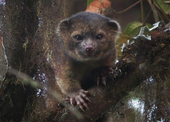 Олингито, или «медведо-кошка», – это первый новый хищник, обнаруженный на западе за последние 35 лет