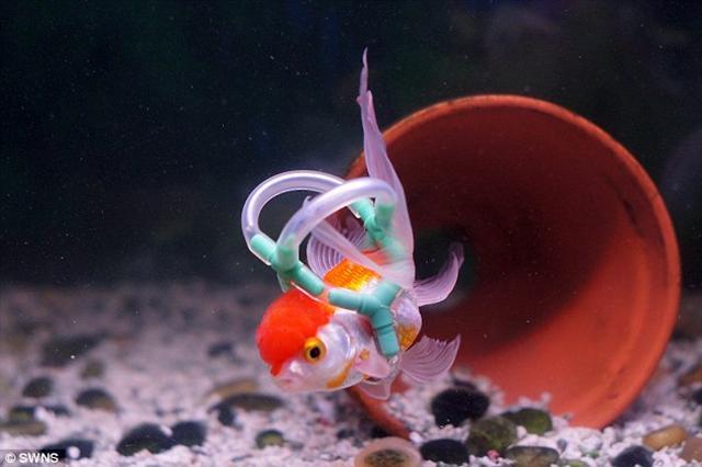 Рыбка Эйнштейн не может плавать, поэтому её хозяин сделал для неё спасательный жилет