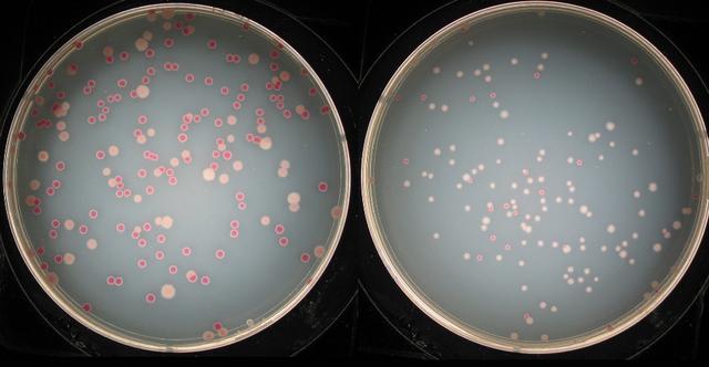 Исследователи вырастили 50 000 поколений бактерий и доказали, что эволюция не останавливается никогда