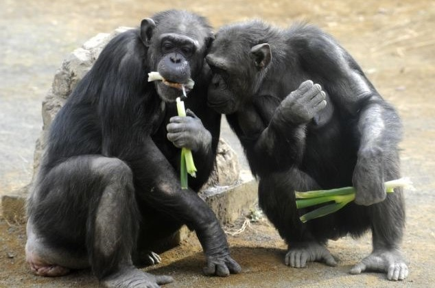 Четырёх шимпанзе могут в скором времени юридически признать людьми