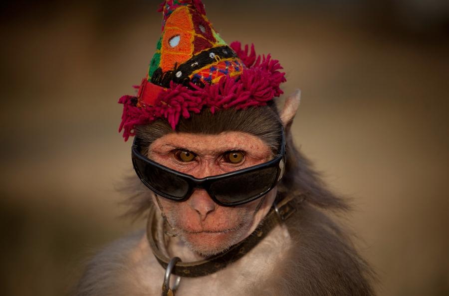 Учёные научили обезьян пользоваться «деньгами», и те стали платить за секс