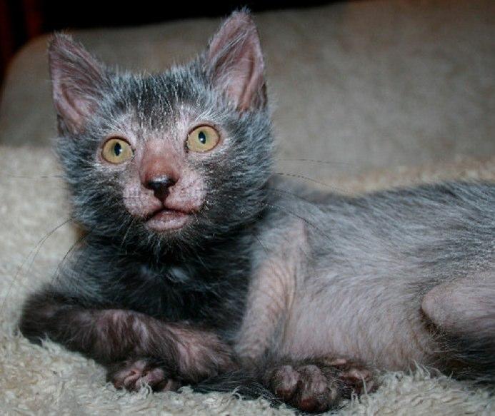 Выведена новая кошачья порода, стремительно набирающая популярность: котики-оборотни