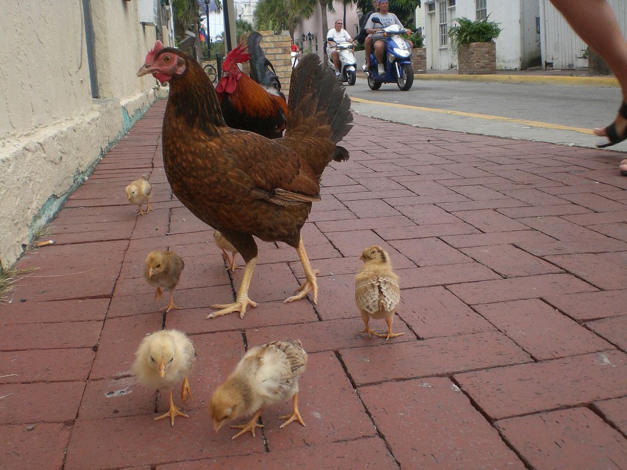 Если курице приделать протез хвоста, она будет ходить как динозавр