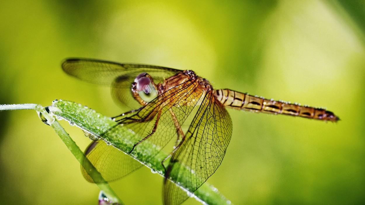 Стрекозы — самые совершенные хищники в мире: их охота успешна в 95% случаев