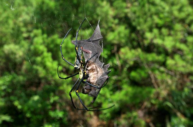 Существуют пауки, которые питаются летучими мышами