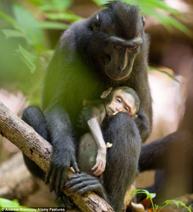 Мать-макака несколько дней оплакивала погибшего новорожденного