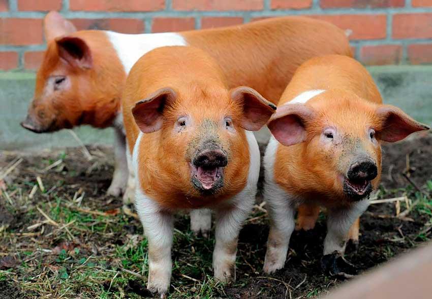 Уникальная порода: датские протестные свиньи
