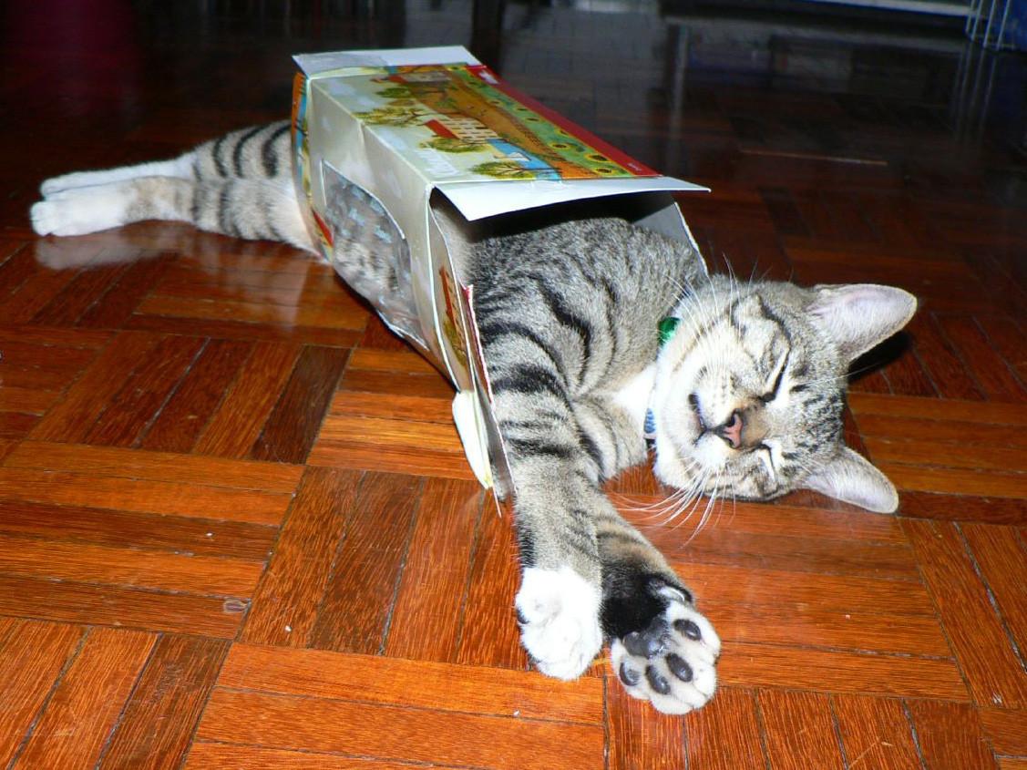 buff tiger cat