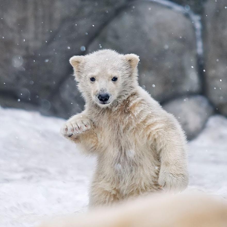 целом для фото белого медвежонка видно прикреплённых изображений