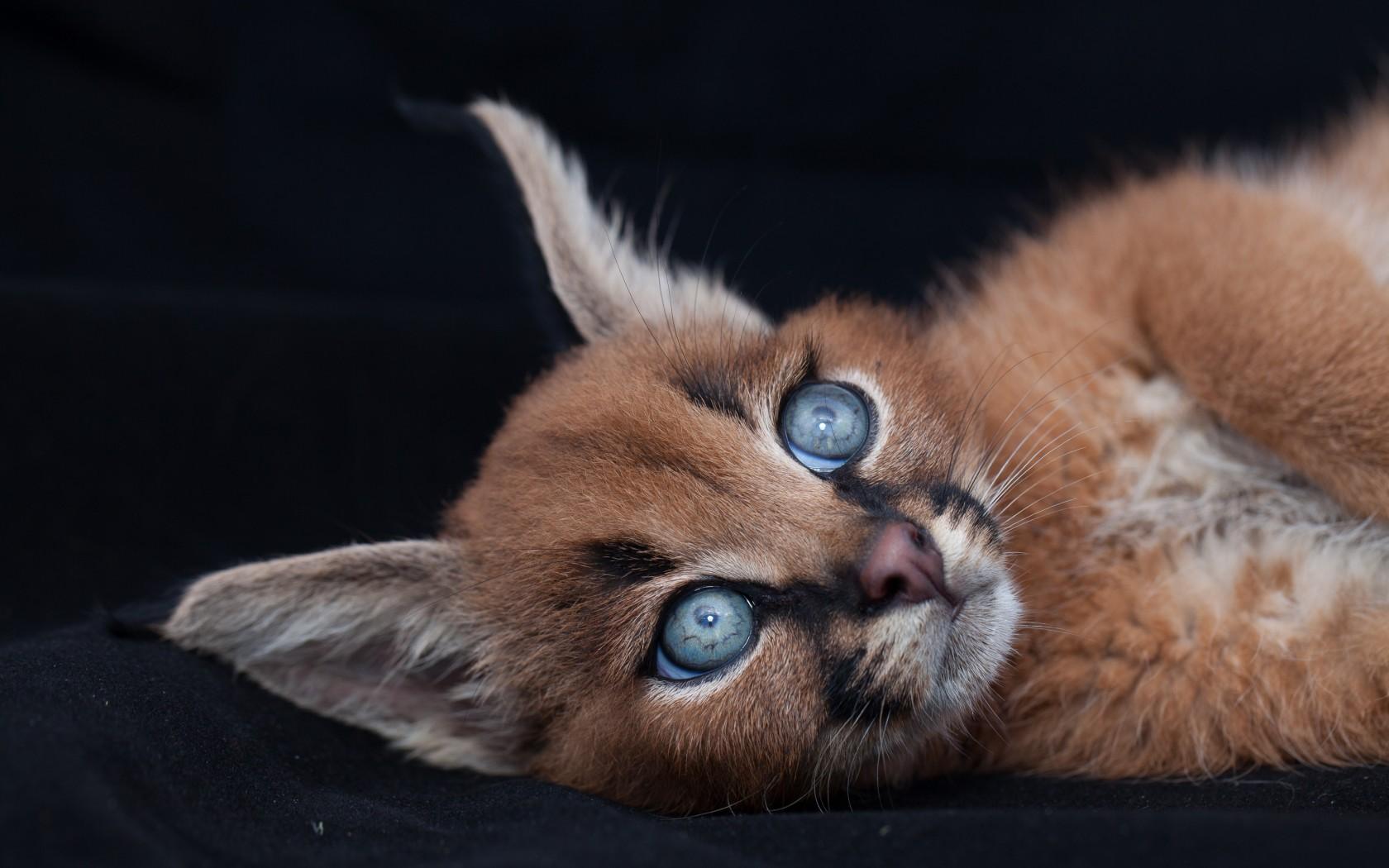 Восхитительная кошка, о которой мы никогда не слышали