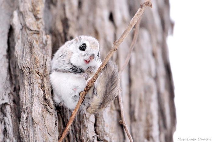 Сибирская белка-летяга, кажется, самое симпатичное животное на Земле!