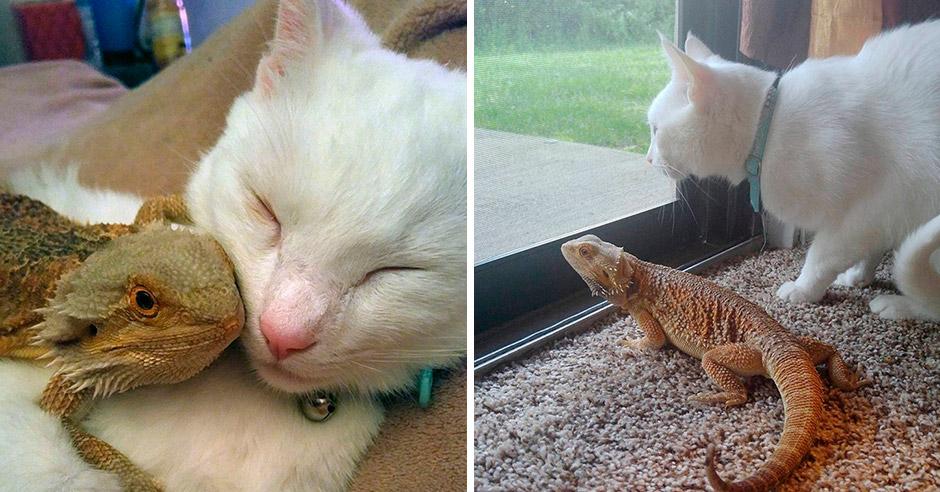 Ящерица и кошка — самые невероятные лучшие друзья!