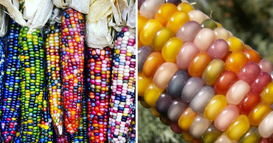 Сногсшибательная разноцветная кукуруза, выведенная из старинных сортов
