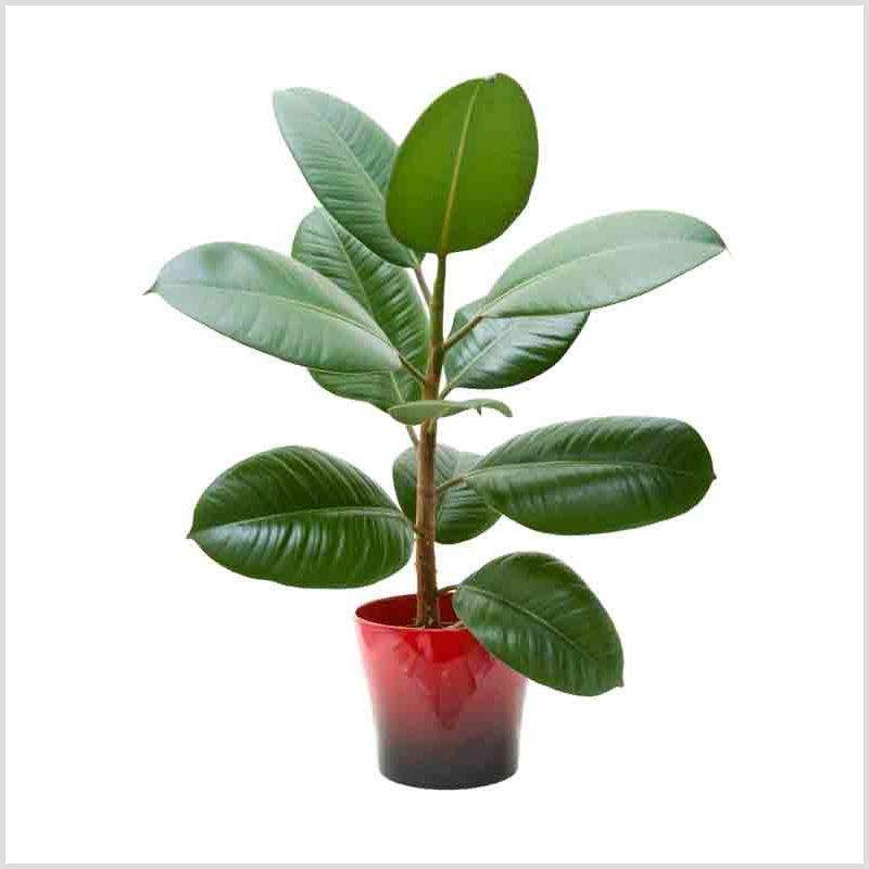 Фикус - ficus - комнатные растения - уход за фикусом