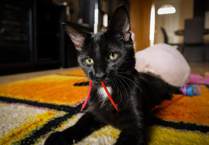 Купленный за700$ сфинкс оказался... обычным БРИТЫМ котом!