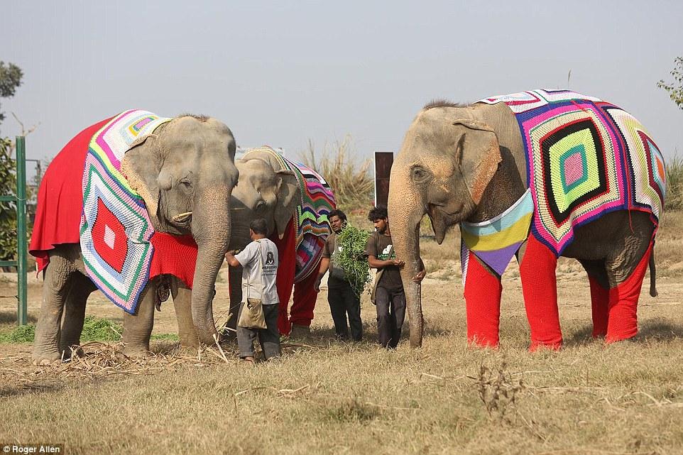 Индианки вяжут слонам пижамы, чтобы бедняжки не мёрзли в холода