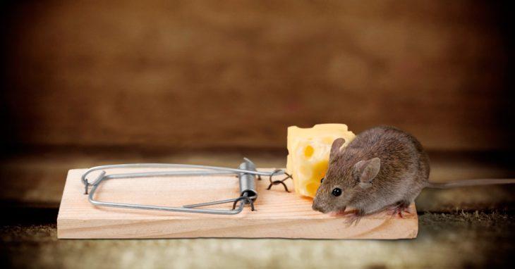 Carnada caro en una trampa para ratones