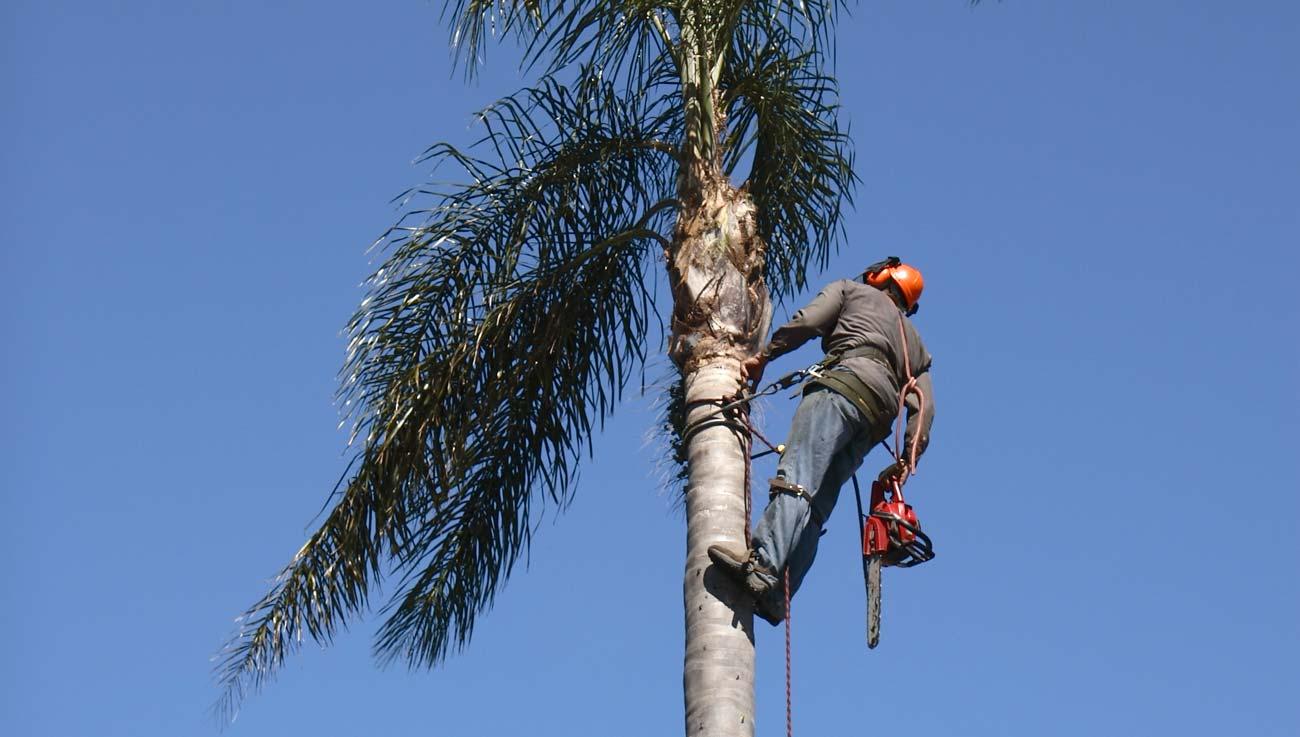 Профессия: специалист побезопасности пальм