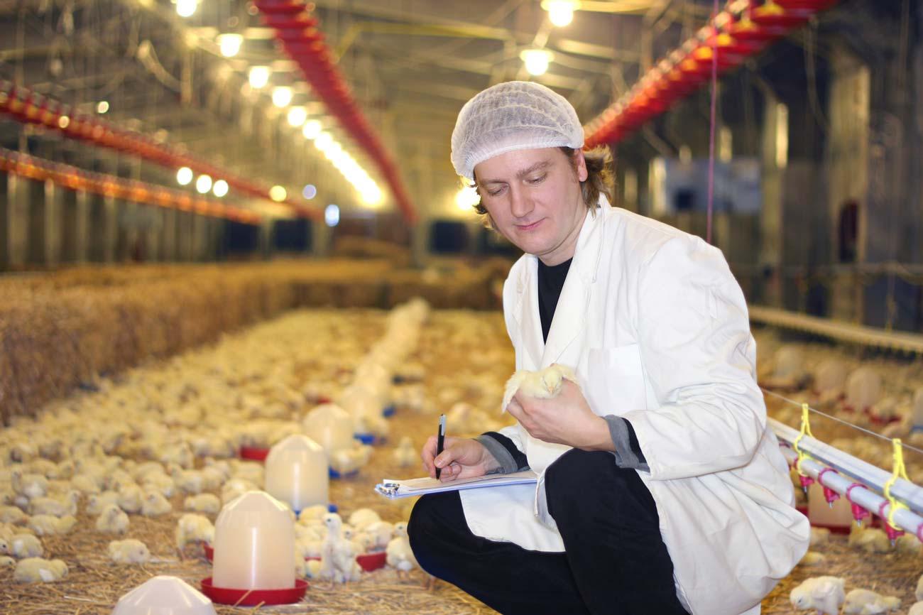 Профессия: Определитель пола цыплят