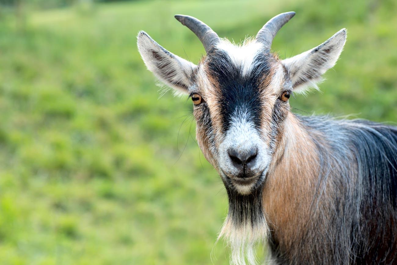 Сидорова коза