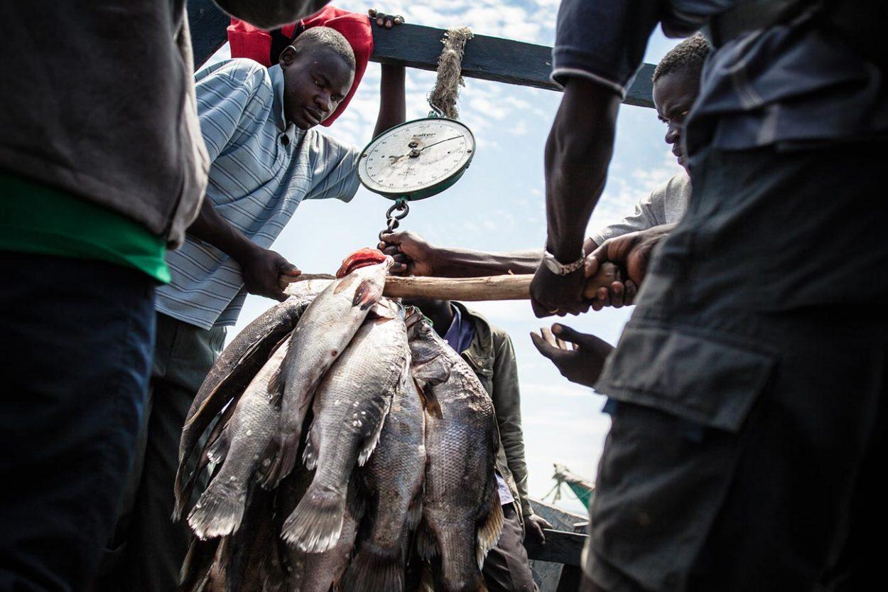 Нильский окунь и рыбаки