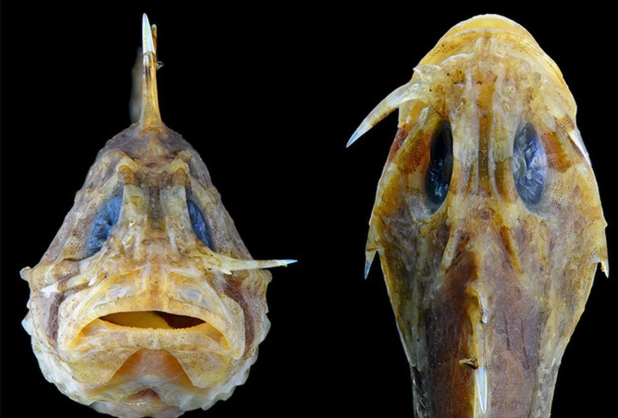 Ядовитая рыба-камень (Бородавчатка)