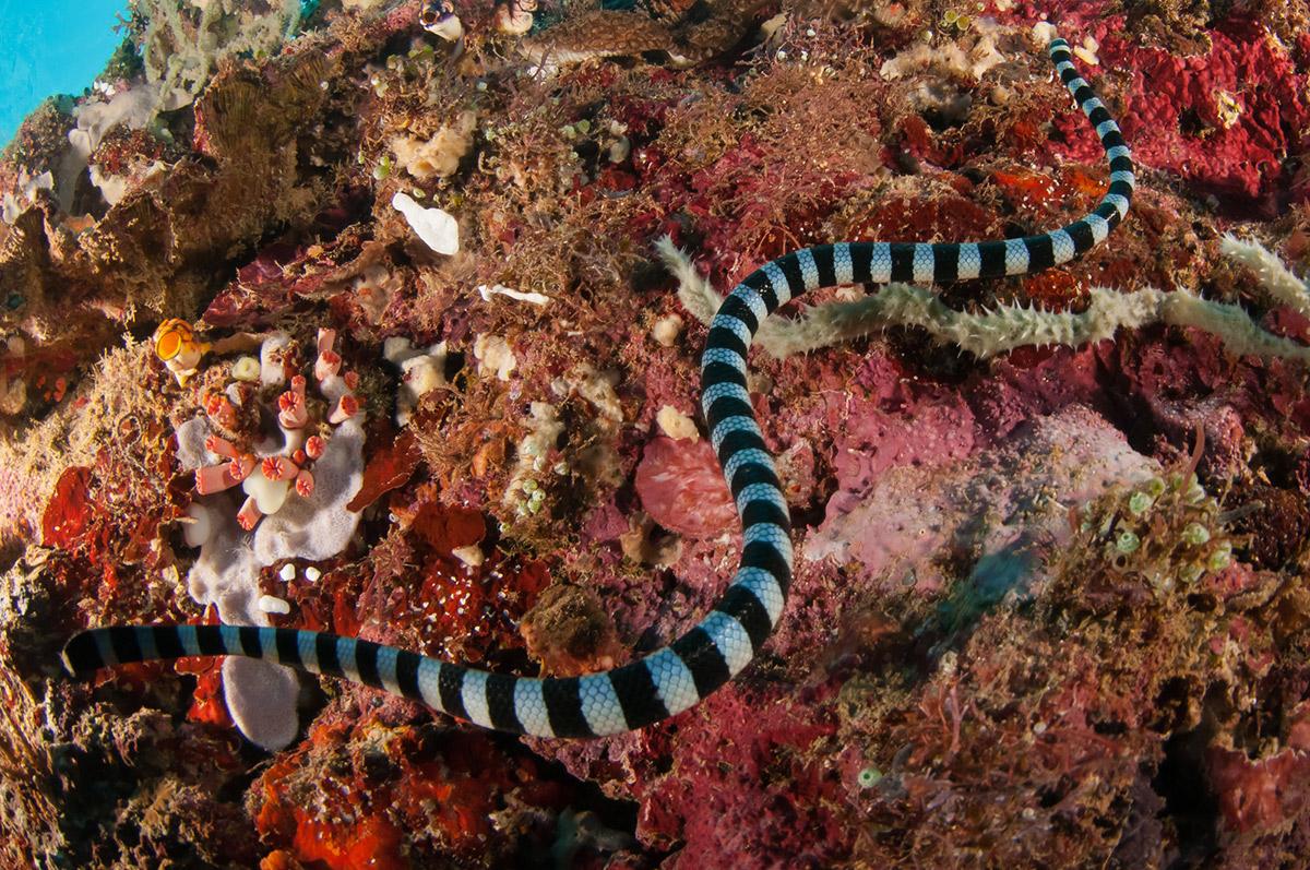 Ядовитая морская змея