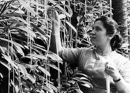 Фрагмент из сюжета на котором женщина собирает урожай спагетти с дерева
