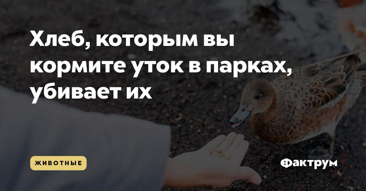 Хлеб, которым выкормите уток впарках, убиваетих