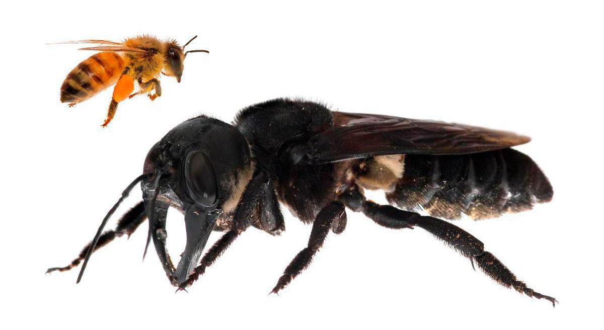 Гигантская чёрная пчела (пчела Уоллеса) в сравнении с обычной
