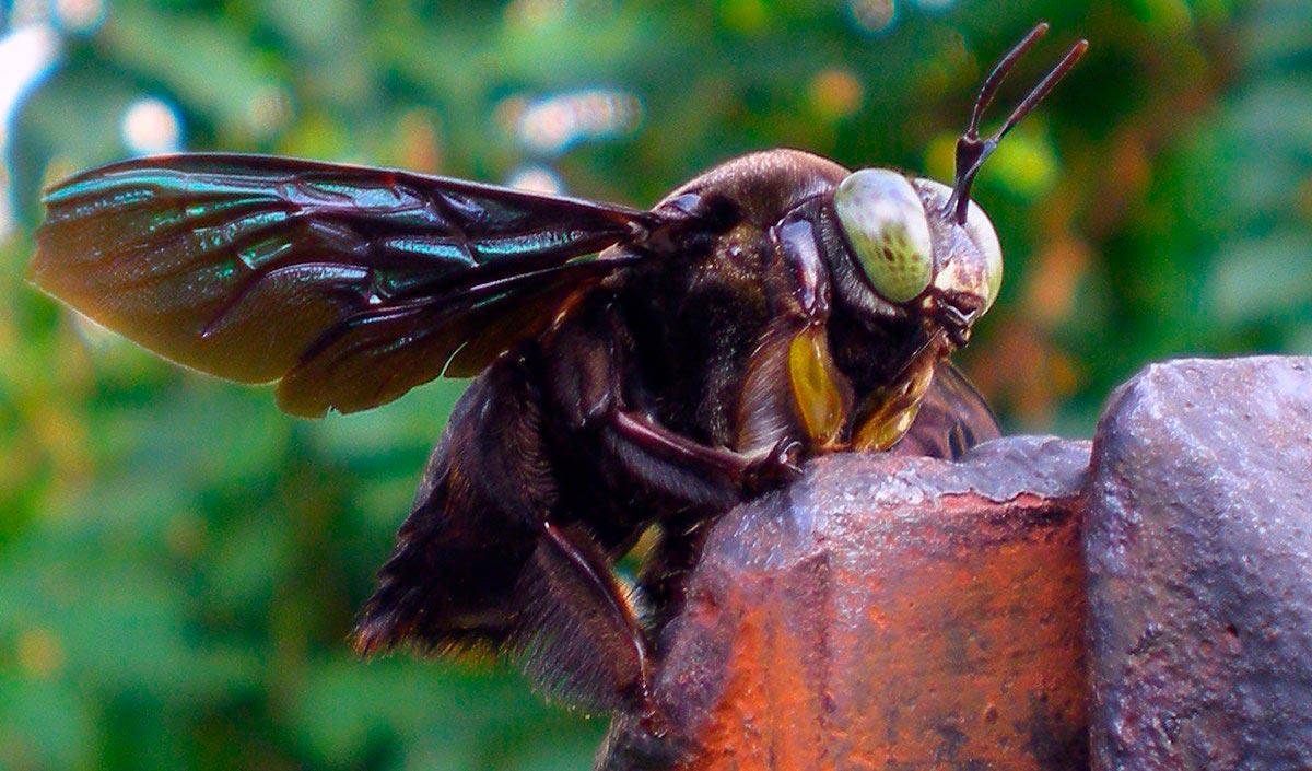Гигантская чёрная пчела