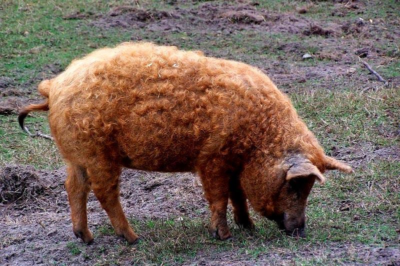 Кудрявые свиньи очень симпатичные